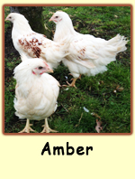 Amber PS