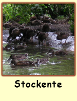 Stockente PS